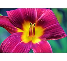 Red Daylilly Photographic Print