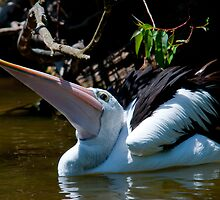 Pelican XX by Tom Newman
