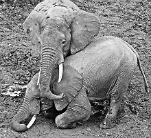 Playfull Pachyderms by Tim Fitzgerald