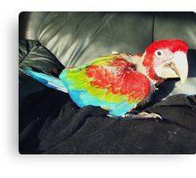 macaw 9 weeks Canvas Print