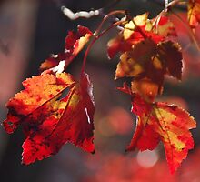 red leaves in sunlight by dragonphly