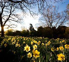 Daffodil Crop by Hugh M