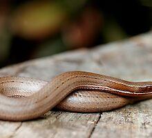 Burton's legless lizard - Lialis burtonis by Normf