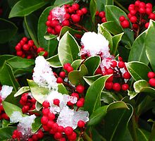 """"""" Red Berries in the snow"""" by mrcoradour"""
