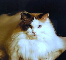 Ragalong Miss Daisy-Mae Pussums - Pedigreed Ragdoll by Carol Clifford