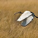 African Sacred Ibis (Threskiornis aethiopicus) by Konstantinos Arvanitopoulos