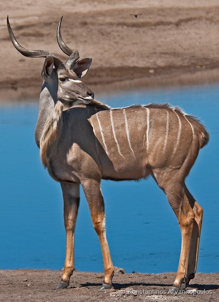 Greater Kudu (Tragelaphus strepsiceros) by Konstantinos Arvanitopoulos