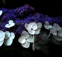 Flower of hydrangea by mrLEV