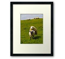mating sheep Framed Print