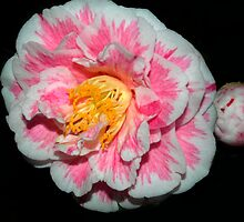 Night Bloom - NSW by CasPhotography