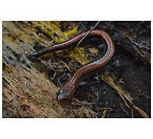Red Backed Salamander in Log Photographic Print