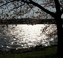 dc cherry blossoms 2 by nicolle walker