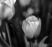 Tulips In Black And White by Debbie Oppermann