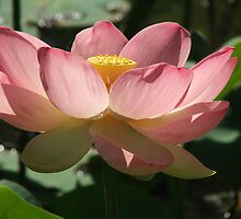 Waterlily (4167) by ScenerybyDesign