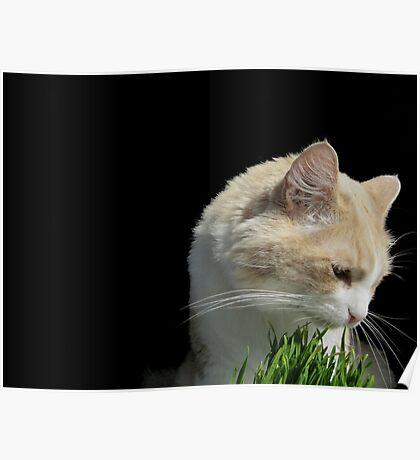 Cat 'n Grass Poster