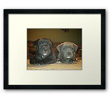 pit bull babies Framed Print
