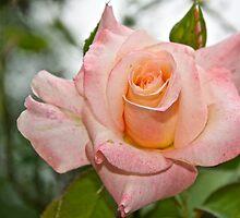 A Rose by Carolyn Clark
