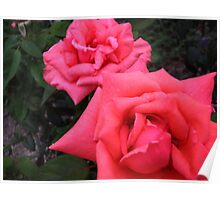 Some of the lovey roses in mums garden Poster