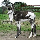 Another Baby Donkey by skyhorse