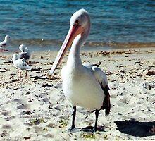 Lone Pelican on Bribie Island, Queensland, Australia. by Mywildscapepics