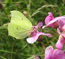 Brimstone butterfly by Hugh J Griffiths