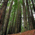 Otway's Redwoods  by Stephen Ruane