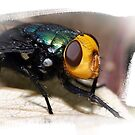 Amenia imperialis by Lesley Smitheringale