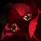 Morning Light on Scarlet Bougainvillea by MacroMarcie