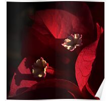 Morning Light on Scarlet Bougainvillea Poster