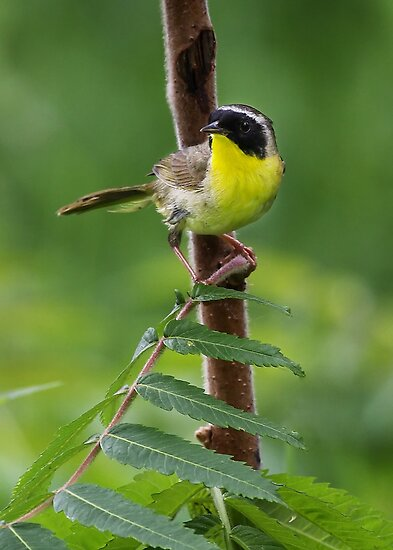 Common Yellowthroat by Jim Cumming