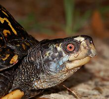 Gulf Coast Box Turtle by Michael L Dye