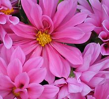 Pink Dahlias by art2plunder