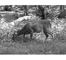 spring day deer Photographic Print