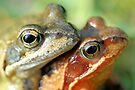 Frogs mating by jimmy hoffman
