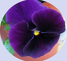 Purple Velvet - Pansy Vignette by BlueMoonRose