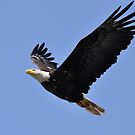 American Bald Eagle - Image 1 by Barbara Burkhardt