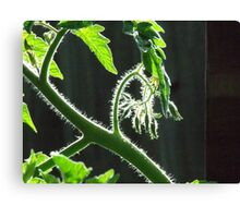 My tomato plant Canvas Print