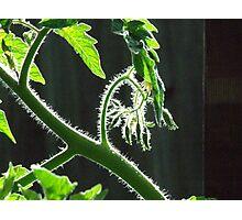 My tomato plant Photographic Print