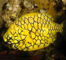 Pineapplefish by Andrew Trevor-Jones