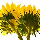 High Key Sunflowers by JHRphotoART