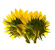 High Key Sunflowers Photographic Print