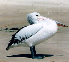 Pelican Resting by Mywildscapepics