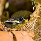 Ready to Fly - honey eater chick by Jenny Dean