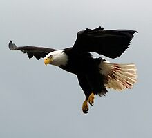 """The Warrior"" Bald Eagle  by NaturePrints"