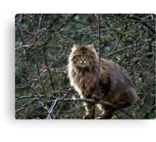 Maine Coon Tabby Cat Canvas Print