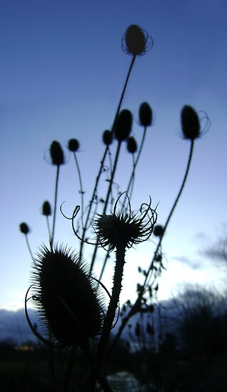 Teasels (Scottish streamside, November) by armadillozenith