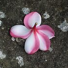 Soft petals on stone by Plum
