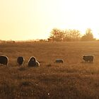 sunset on the sheep farm by Judith Cahill