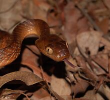 Brown Tree Snake by NickBlake