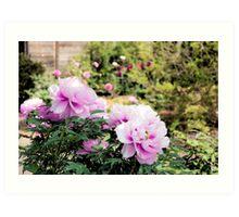 Pink flowers of Peony Art Print